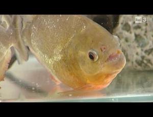 Il Pesce Piranha